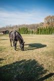 Cheval noir sur le champ vert dans un jour ensoleillé photographie stock libre de droits