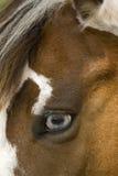 Cheval observé bleu de peinture Photos libres de droits