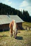 Cheval ou poney frôlant dans une basse cour Image libre de droits
