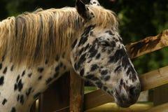 Cheval peu commun d'Appaloosa Photos stock