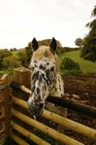 Cheval peu commun d'Appaloosa Photographie stock libre de droits