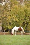 Cheval pie photo libre de droits