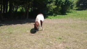 Cheval polonais sauvage de Konik frôlant dans le pré Tarpan ou Konik alimentant sur le pré Cheval polonais mâchant l'herbe clips vidéos