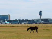 Cheval près de la barrière d'aéroport Photos stock