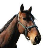 cheval principal Photo stock