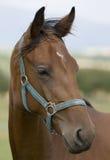 cheval principal s Photographie stock libre de droits