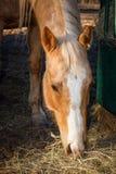Cheval quart de palomino Images stock