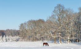 Cheval recherchant des gras sur un champ de neige devant une forêt Image stock
