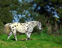Cheval repéré d'appaloosa Photos libres de droits