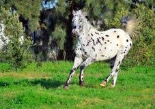 Cheval repéré d'appaloosa fonctionnant dehors Photos stock