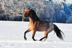 Cheval rouan dans le domaine d'hiver Images stock
