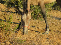 Cheval rouan en Olive Grove Photographie stock