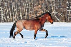 Cheval rouan trottant dans le domaine d'hiver Image stock