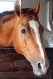 Cheval rouge Photographie stock libre de droits