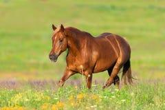 Cheval rouge dans le pré image libre de droits