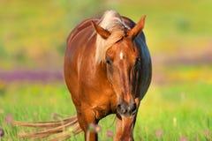 Cheval rouge dans le pré photo libre de droits