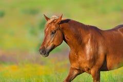 Cheval rouge dans le pré photo stock