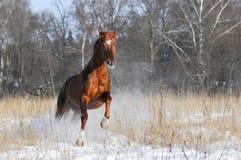 Cheval rouge en galop de passages de l'hiver Photos stock