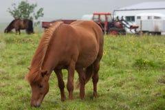 Cheval rouge islandais près de la ferme Image libre de droits