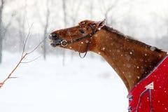 Cheval rouge mangeant le branchement en hiver Images stock