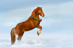 Cheval rouge s'élevant dans la neige Photographie stock