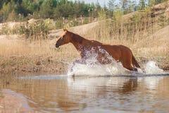 Cheval rouge sur la nature Chevaux regardant dans l'appareil-photo photographie stock