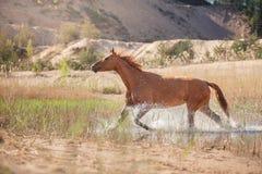 Cheval rouge sur la nature Chevaux regardant dans l'appareil-photo images stock