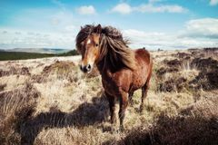Cheval Royaume-Uni de Dartmoor Images libres de droits