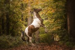 Cheval s'élevant dans la forêt Images stock