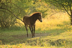 Cheval sauvage Image libre de droits