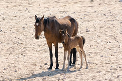 Cheval sauvage avec le chaton Images stock