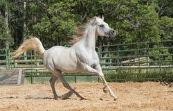 Cheval sauvage blanc Photo stock