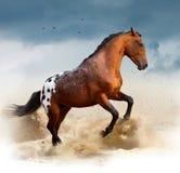 Cheval sauvage d'Appaloosa dans le désert Photographie stock libre de droits
