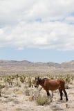 Cheval sauvage dans le désert du Nevada Images stock