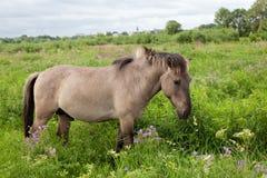 cheval sauvage dans un pré Photo libre de droits