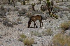 Cheval sauvage de bébé, poulain dans le désert Image stock