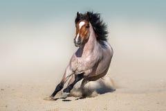Cheval sauvage de baie rouane couru dans le désert Photos libres de droits