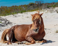 Cheval sauvage de Brown détendant sur l'île d'Assateague Photos stock
