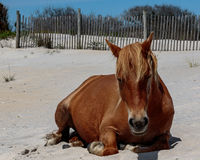 Cheval sauvage de Brown sur l'île d'Assateague Photo stock