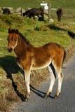 Cheval sauvage de chéri de bord de la route, Dartmoor. Photographie stock libre de droits