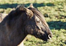 Cheval sauvage de Duelmener Photos libres de droits