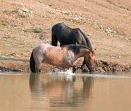 Cheval sauvage de jument rouane rouge se reflétant dans l'eau tout en éclaboussant au point d'eau dans la chaîne de cheval sauvag Images stock