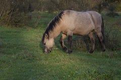 Cheval sauvage de Konik frôlant en nature Photo libre de droits
