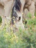 Cheval sauvage de moitié au pâturage liberté l'israel photos stock