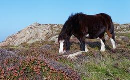 Cheval sauvage de montagne Photos libres de droits
