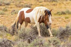Cheval sauvage de mustang image stock