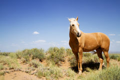 Cheval sauvage de mustang Photographie stock