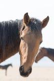 Cheval sauvage de portrait Photo stock