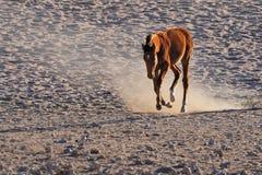 Cheval sauvage du Namib Photos stock