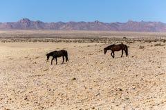 Cheval sauvage du Namib Photo libre de droits
